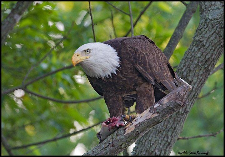 James river eagle tour 2010 0sb0450 american bald eagle for Fish eating eagle