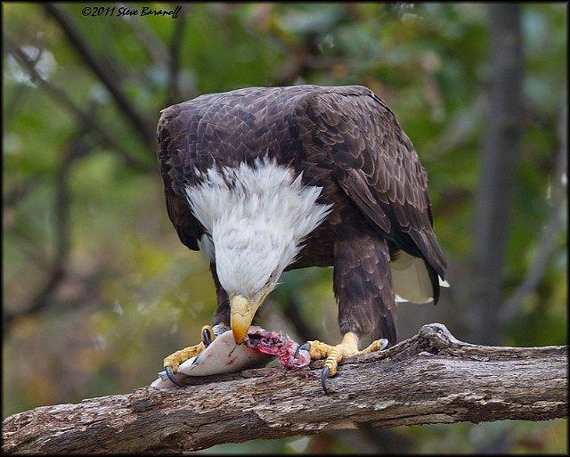 recent images july dec 2011 1sb7888 bald eagle eating fish