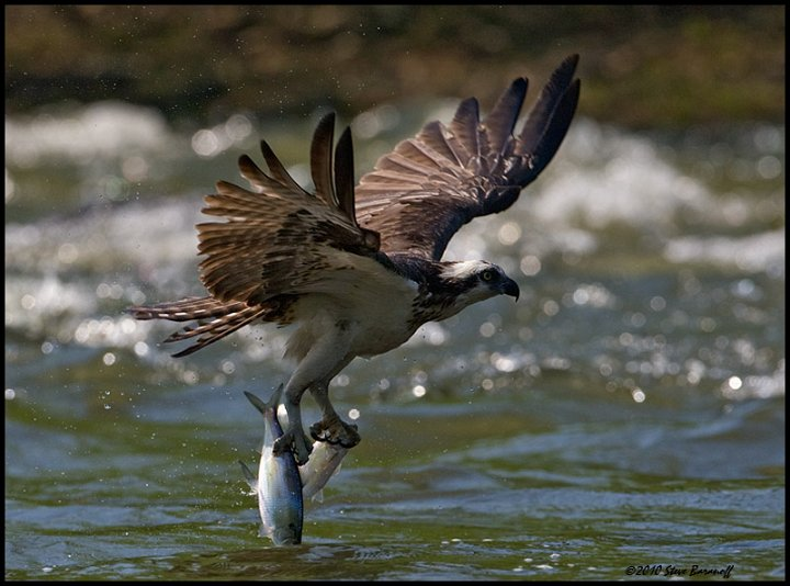 Photos by steve baranoff richmond gbh rookery 0sb8569 for Osprey catching fish